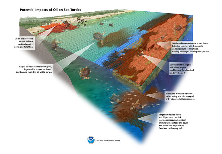 Graphic showing how spilled oil in the ocean can affect sea turtles at all stages of life and across ocean habitats: Oil on the shoreline can contaminate nesting females, nests, and hatchlings; larger turtles can inhale oil vapors, ingest oil in prey or sediment, and become coated in oil at the surface; winds and currents create ocean fronts, bringing together oil, dispersants, and sargassum communities, causing prolonged floating oil exposure; juvenile turtles ingest oil, inhale vapors, and become fatally mired and overheated; prey items may also be killed by becoming stuck in heavy oil or by dissolved oil components; and sargassum fouled by oil and dispersants can sink, leaving sargassum-dependent animals without food and cover and vulnerable to predators. Dead sea turtles may sink.
