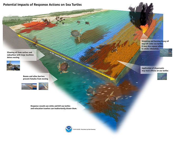 Graphic showing how oil spill cleanup and response activities can negatively affect sea turtles: Cleaning oil from surface and subsurface shores with large machines deters nesting; booms and other barriers prevent females from nesting; response vessels can strike and kill sea turtles and relocation trawlers can inadvertently drown them; application of dispersants may have effects on sea turtles; and skimming and burning heavy oil may kill some sea turtles, while also exposing others to smoke inhalation.
