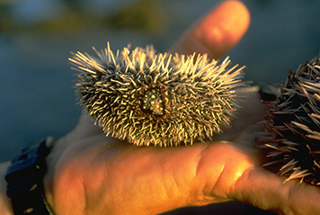 Oiled sea urchins in Puerto Rico.