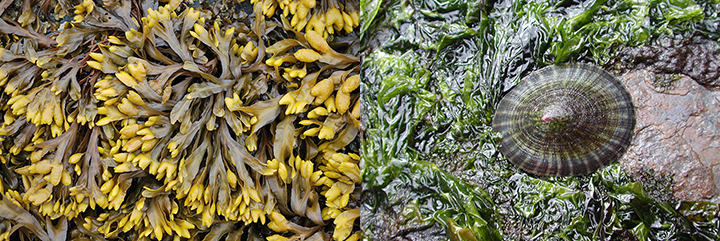 Left, gold-brown seaweed. Right, a sea snail grazes on seaweed on a rock.