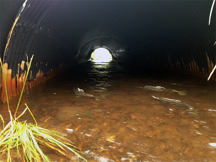 Salmon swimming through a culvert.
