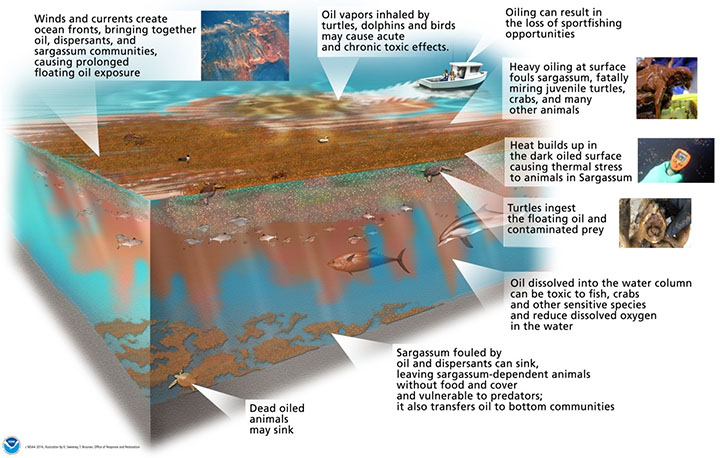 Illustration of the potential impacts of oiled Sargassum and associated biota in the water column.