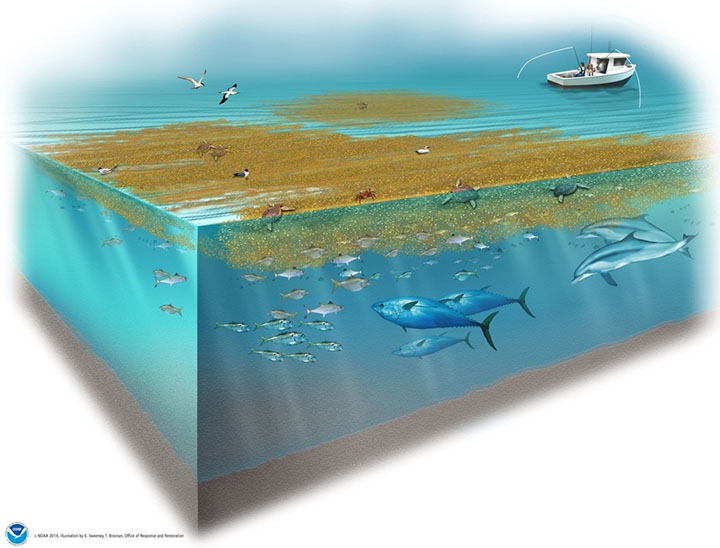 Cutaway graphic of ocean with healthy sargassum seaweed habitat supporting marine life.