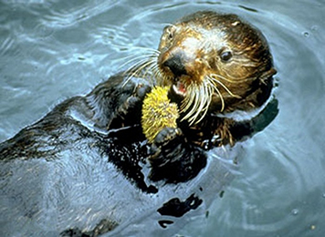 A sea otter eating an urchin.