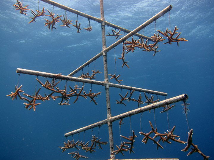 Staghorn coral fragments hanging on an underwater tree structure of PVC pipes.