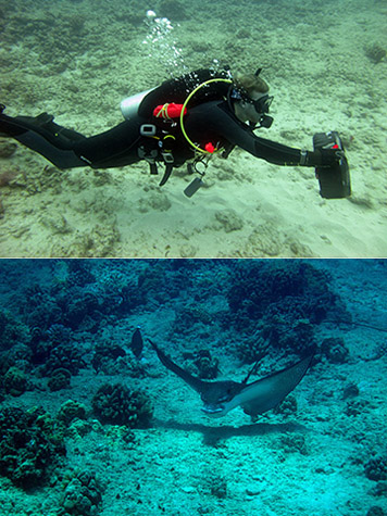 Above, students learned how to extend the range of their surveys by using these underwater scooters. Below, a spotted eagle ray making an appearance.