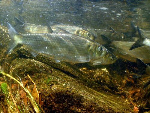 Fish underwater.