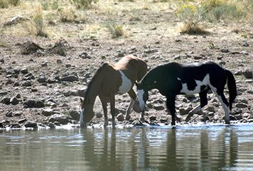 Two horses drinking from a stream.