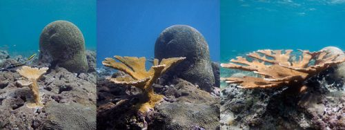 Three underwater images of transplanted coral showing growth.
