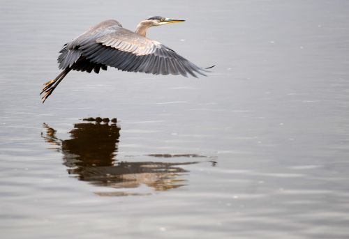 A heron flying low over the water.