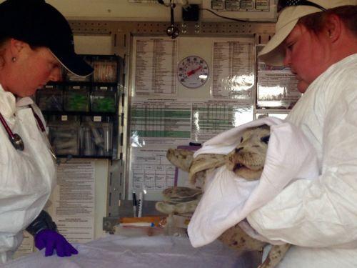 Two people in a lab with an injured harbor seal pup.