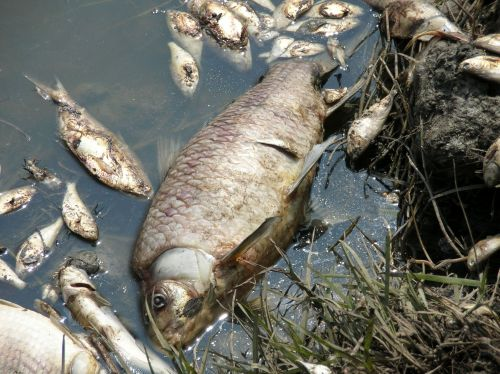 Fish killed during Hurricane Rita in the Gulf of Mexico in 2005.