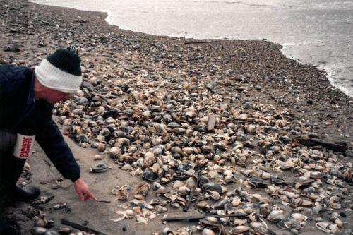 Person on a beach examining shellfish.