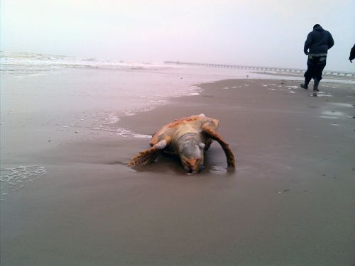 Dead turtle laying on the beach.