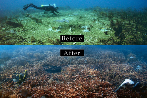 Before and after underwater views of coral restoration.
