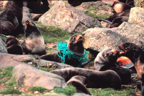 Furseals entrapped by marine debris.