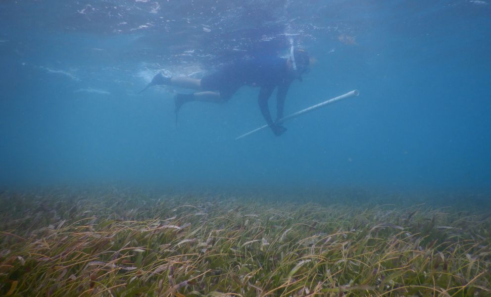 A diver in water near the surface with seagrass along the bottom.
