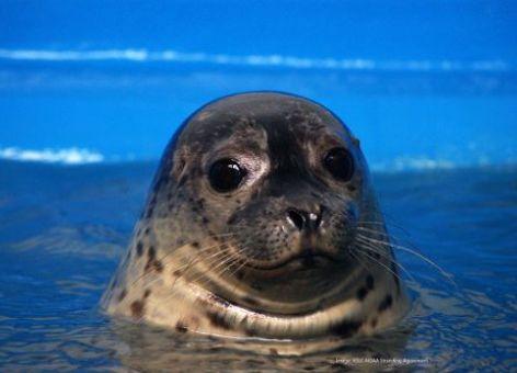 Harbor seal. Image credit: Alaska SeaLife Center.