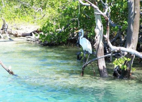 A great egret at Jobos Bay National Estuarine Research Reserve in Puerto Rico. Image credit: National Estuarine Research Reserve System