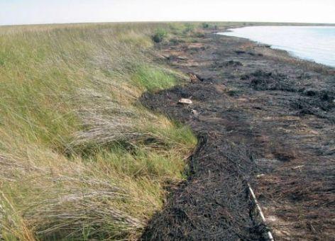 An oiled beach with marsh grass.