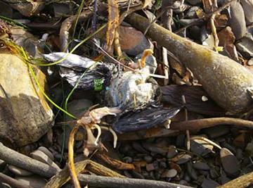 Dead bird on a beach.