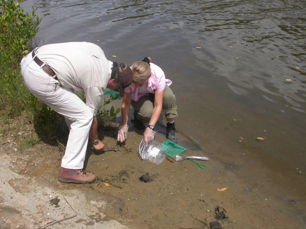 Scientists sampling Fiddler crabs.