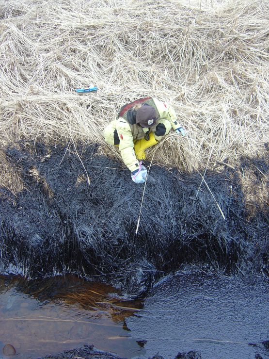 A worker collects oil in a bag from oiled grass on a shoreline.