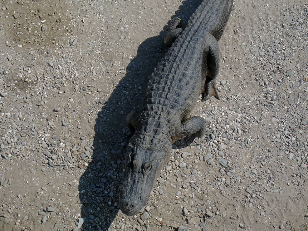 Alligator crawling on a gravelly surface.