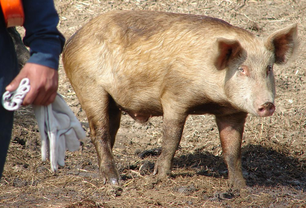 Pig walking next to a worker.