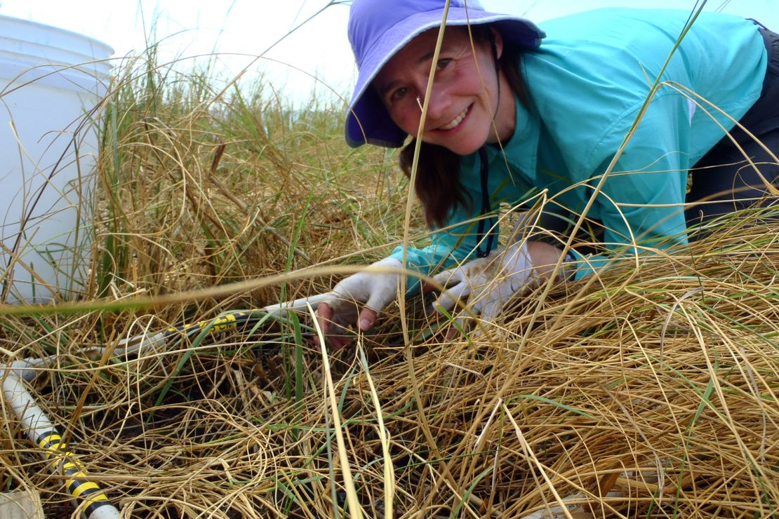 Image of Scientist monitoring cleanup of oiled marshes.
