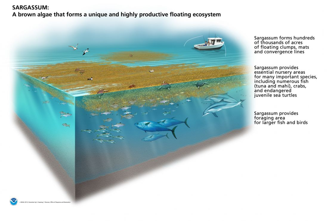 Cut-away of marine environment showing sargassum, various fish and wildlife.