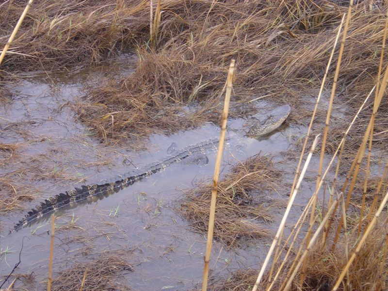 Alligator submerged in water.