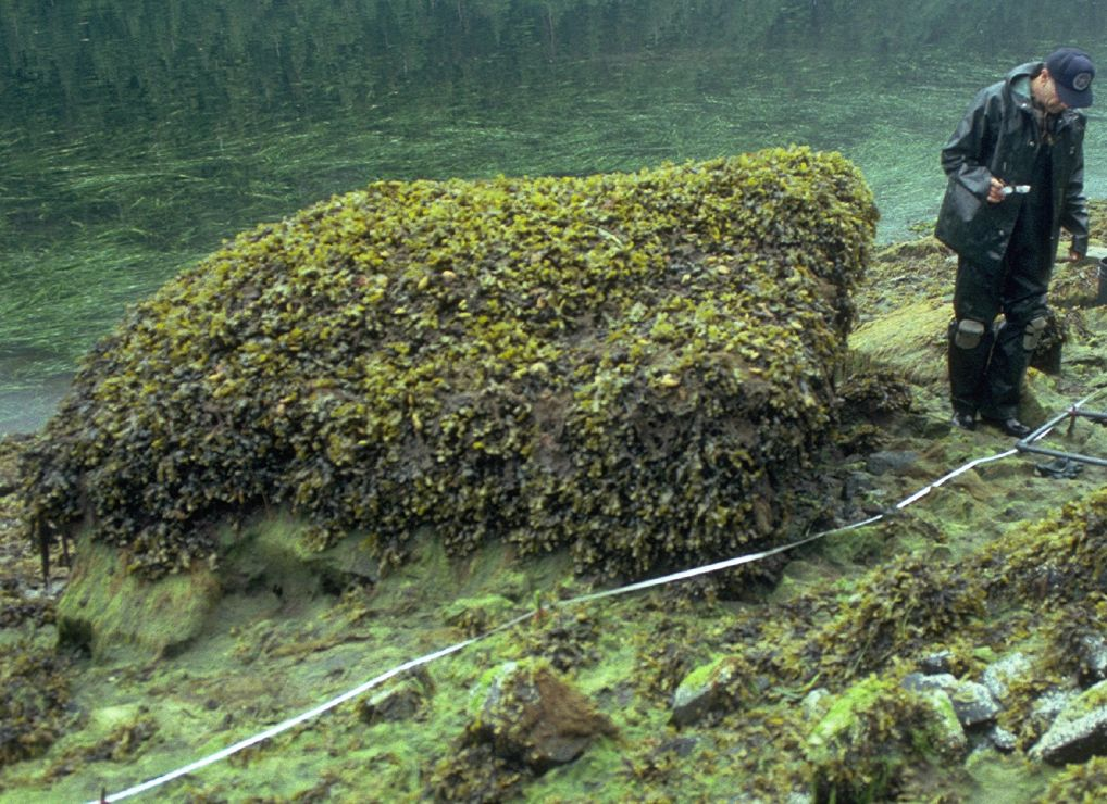 An entire boulder is covered with gold-brown algae.