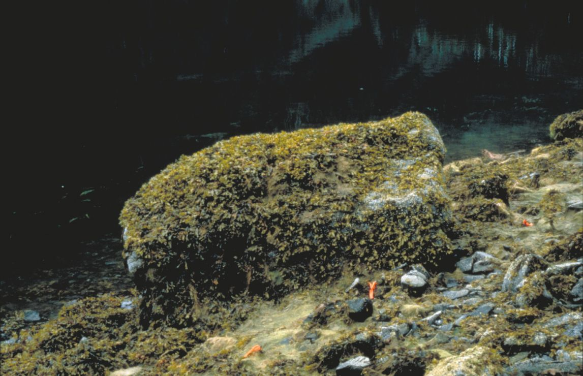 A boulder almost covered with the seaweed Fucus.