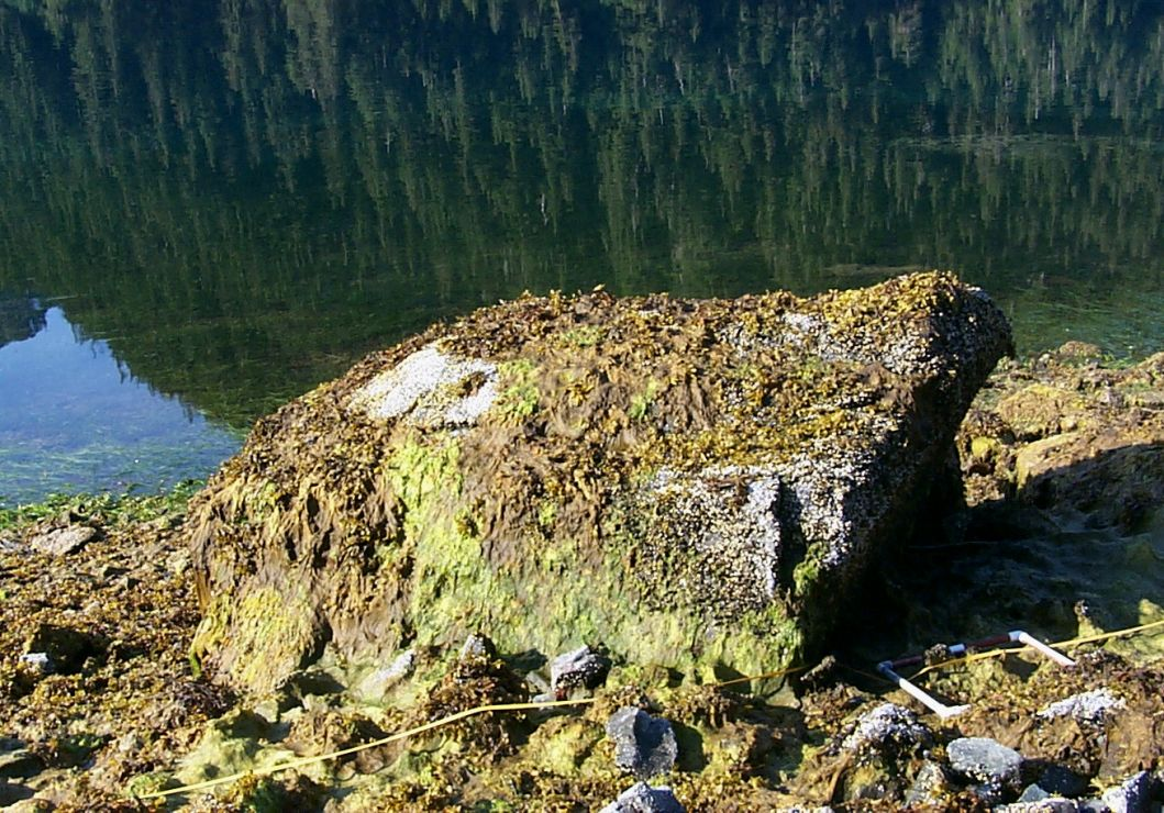 Boulder covered by several kinds of algae, barnacles, and small mussels.