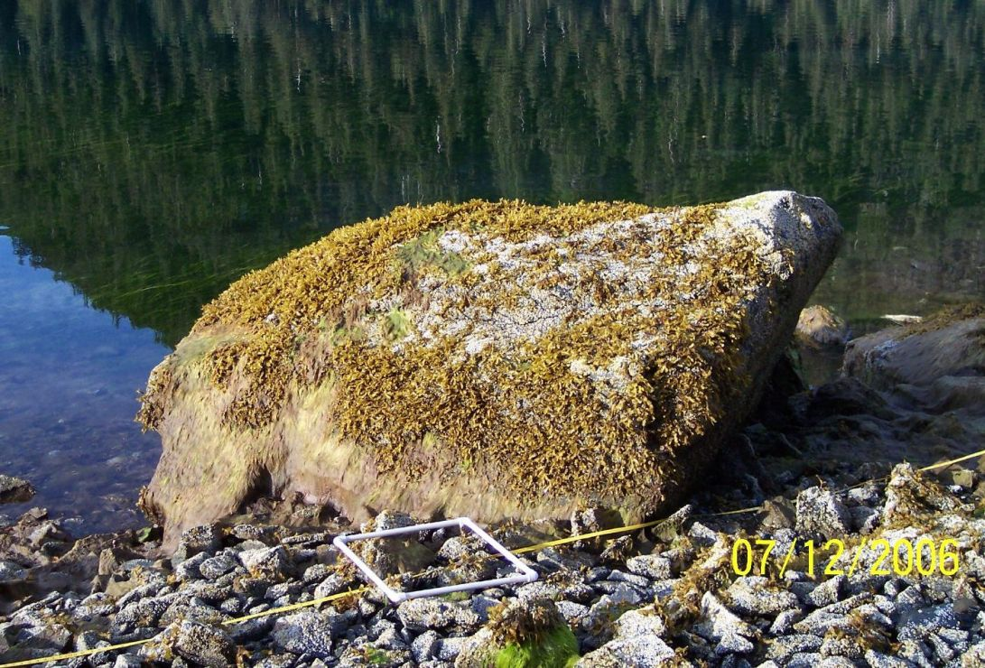 Boulder with moderate to heavy cover of young rockweed except in center.