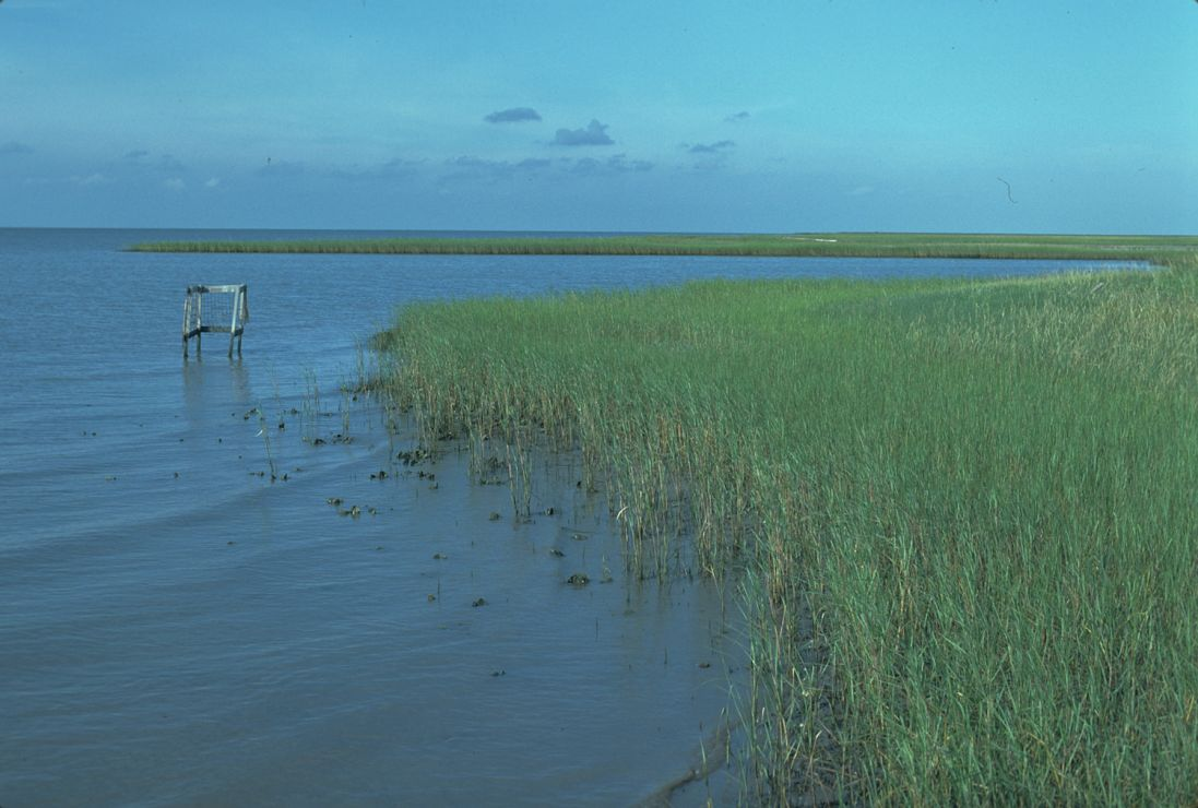 Photo: Marsh grasses along coast.