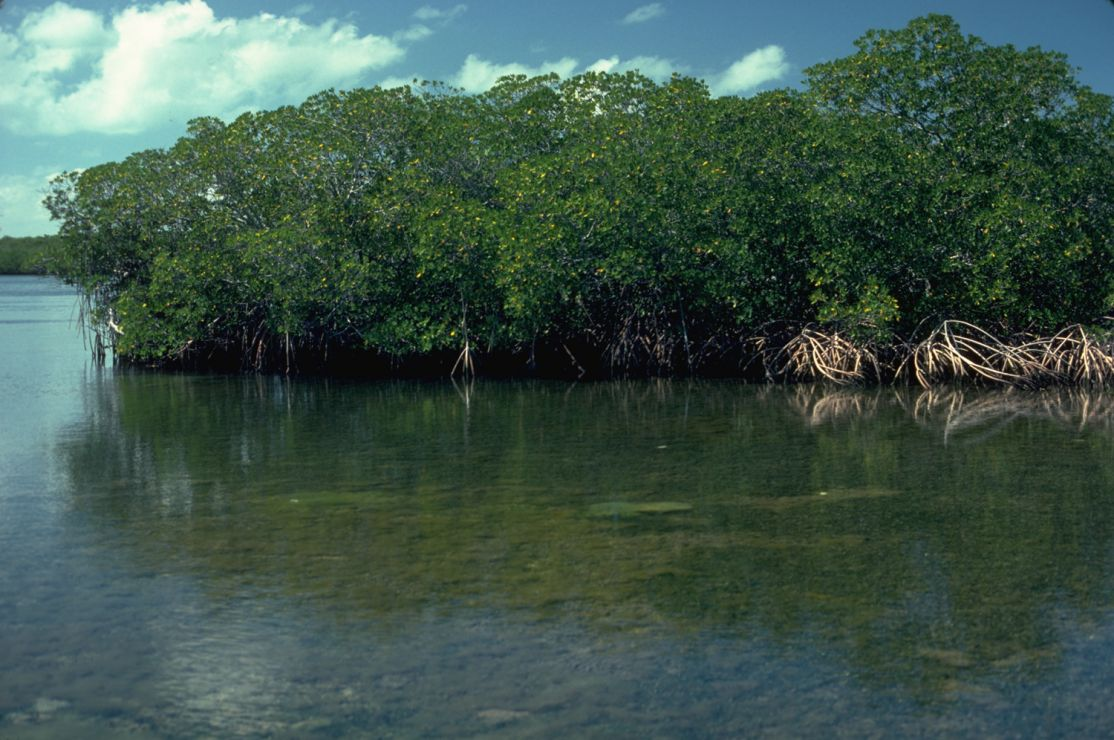 Photo: Mangroves.