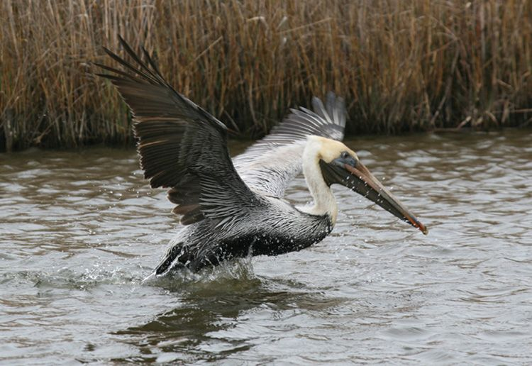 Pelican escaping oiled waters after Eagle Otome spill.