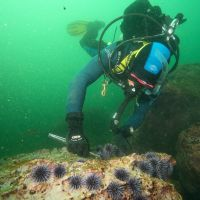 Person diving, working near sea urchins.