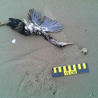 Dead bird next to a ruler on the beach.