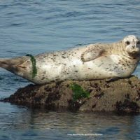 Seal on rock. Image: Marge Brigadier, NOAA Monterey Bay Aquarium.