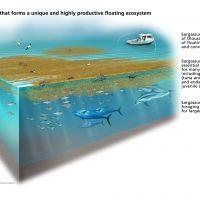 Cut-away of marine environment showing sargassum, various fish and wildlife.