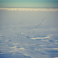 Polar bear tracks crisscrossed by artic fox on sea ice, Barrow, Alaska.
