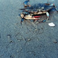 Female blue crab on a beach.