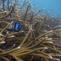 Blue fish among healthy staghorn coral.