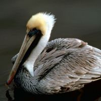 A brown pelican floats on the water's surface.