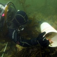 Diver placing PVC tube with small sea snails on the rocky seafloor.
