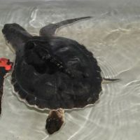 A Kemp's Ridley sea turtle, cleaned and tagged, in a tank.