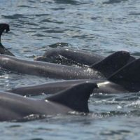 Group of dolphin fins at ocean surface.